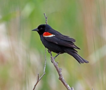 Tricolored Blackbird | Partners In Flight