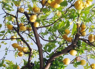 Родина лимонного дерева