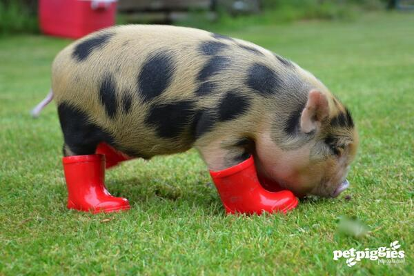 Big Micro When Get How Grown Do Pigs Fully