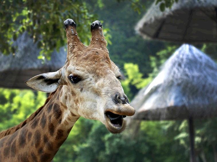 Human Heart Compared Giraffe Heart