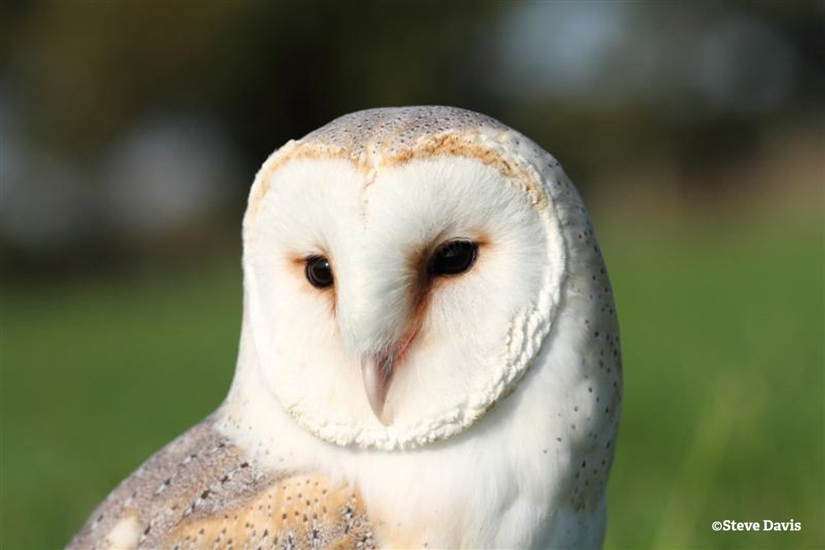 barn owl sounds - HD 1200×800