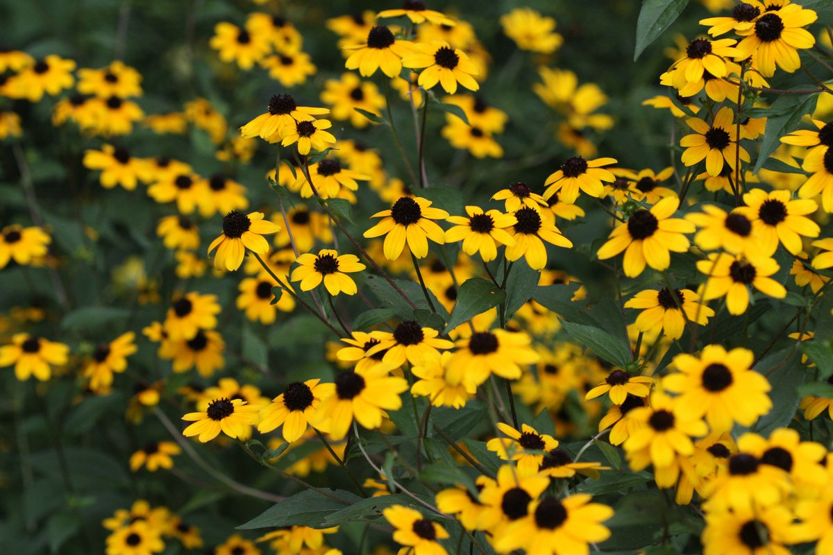 brown eyed susan - HD 1200×800