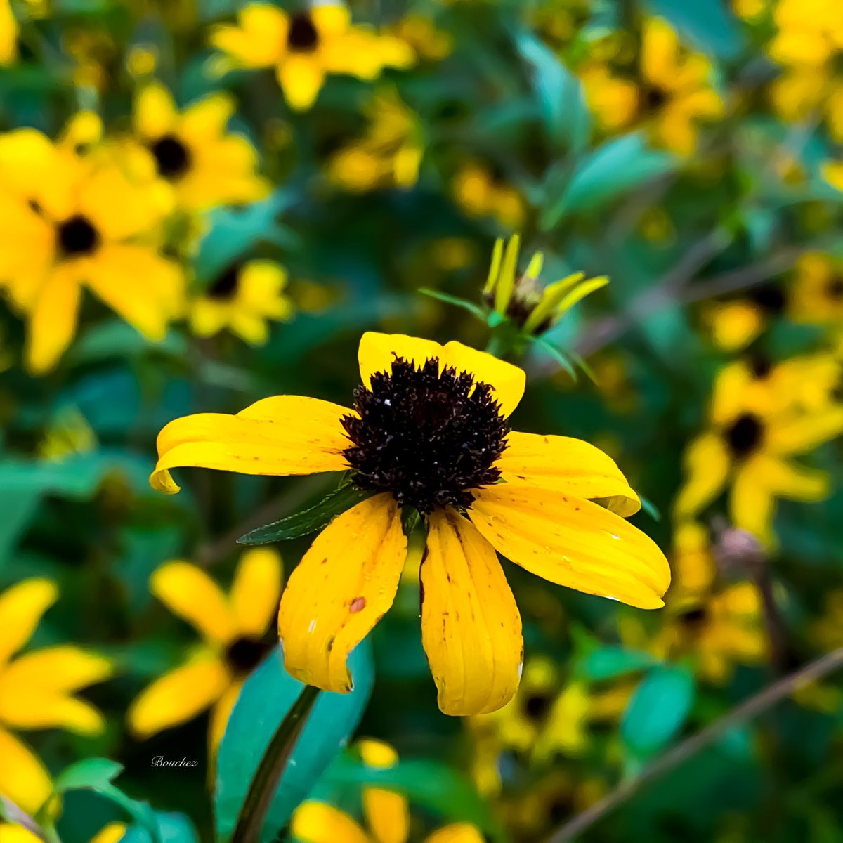 brown eyed susan - HD 1200×1200