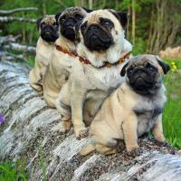 Emergency Pugs (@EmergencyPugs )