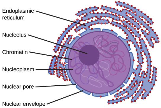 Cell Pancreatic Microscope
