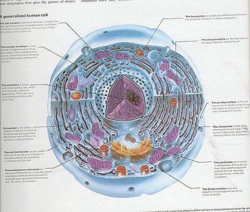 Difference Between Animal Cell and Human Cell   Pediaa Com Main Difference   Animal Cell and Human Cell