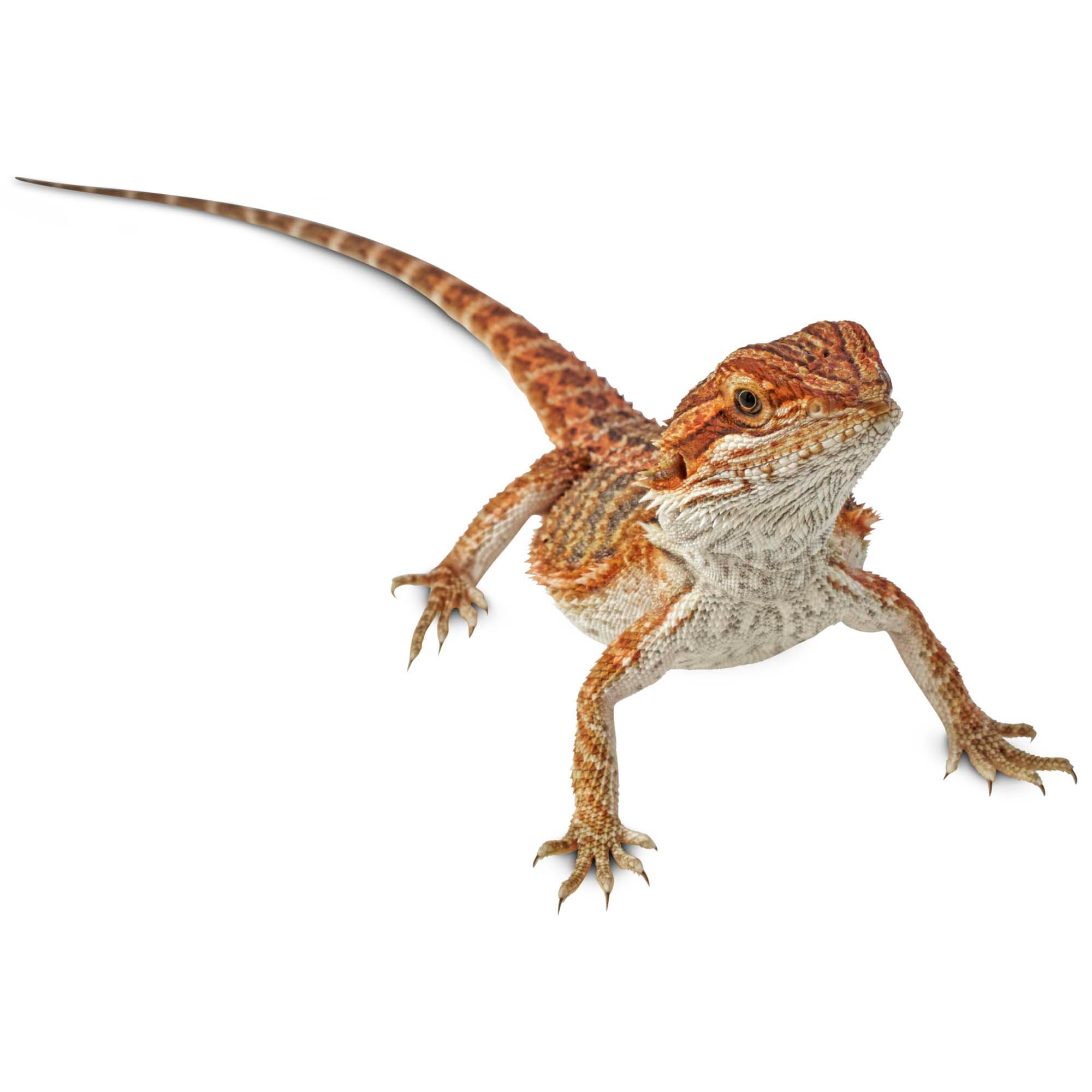 Bearded Dragons for Sale   Buy Live Bearded Dragons for ...