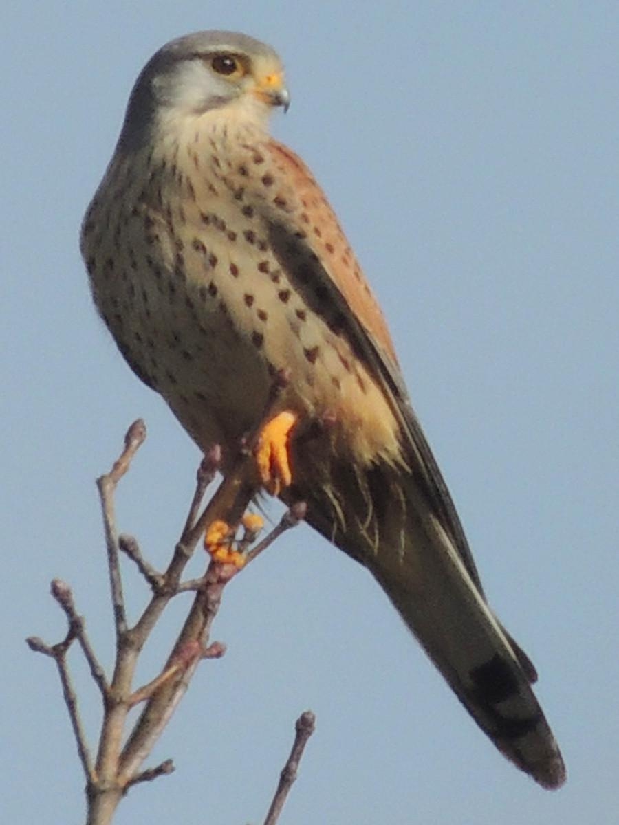 Turmfalke Common Kestrel Falco Tinnunculus
