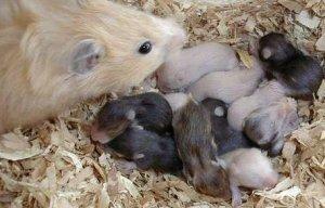Hamster med barn