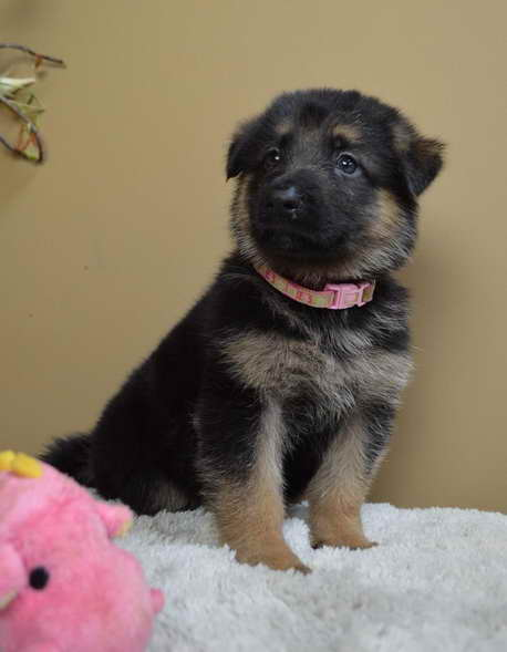 German Shepherd Puppies Chattanooga | PETSIDI