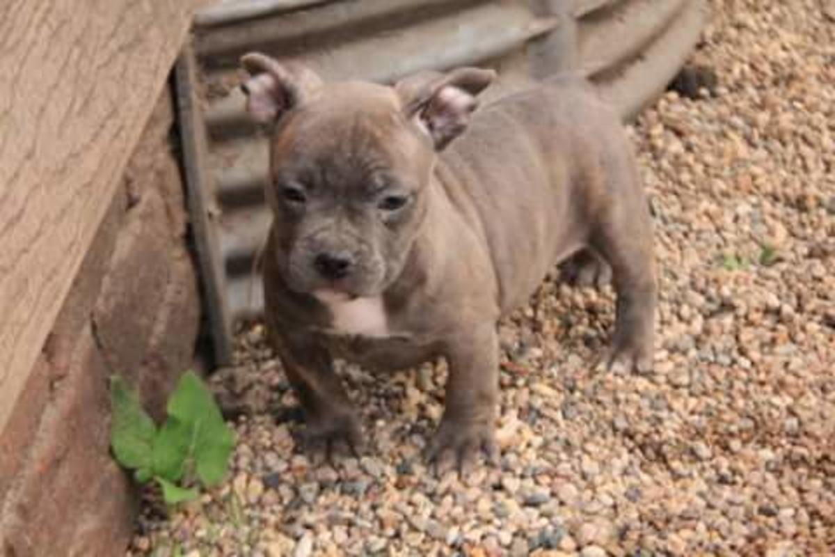 American Bully Puppies & Dogs for Sale in Minnesota United