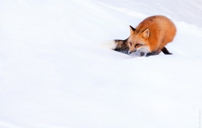 The red fox (Vulpes vulpes). | PARENTS ALLIANCE OF PRINCE ...