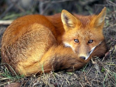 Red Fox (Vulpes vulpes). | PARENTS ALLIANCE OF PRINCE ...