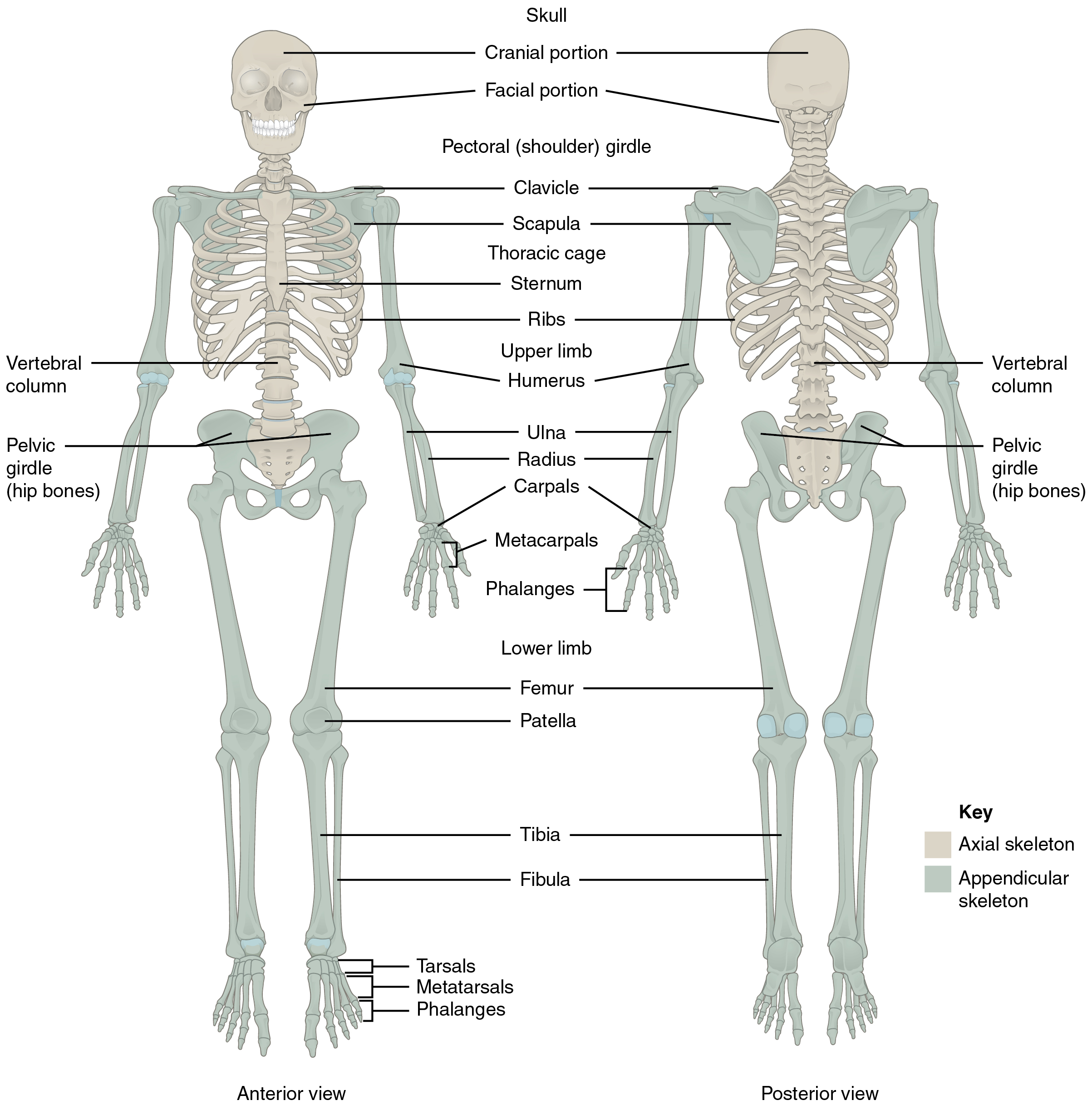 Divisi S Of Skelet L System · N Tomy Nd Physiology