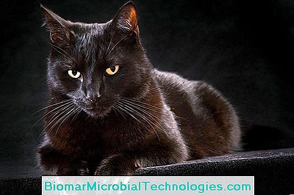 Schwarze Katze: Aberglaube, Glaube, Geschichte 💫 Der Ort Des