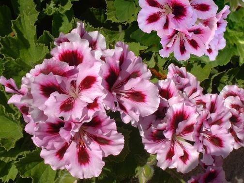 PlantFiles Pictures: Regal Pelargonium (UK), Martha ...