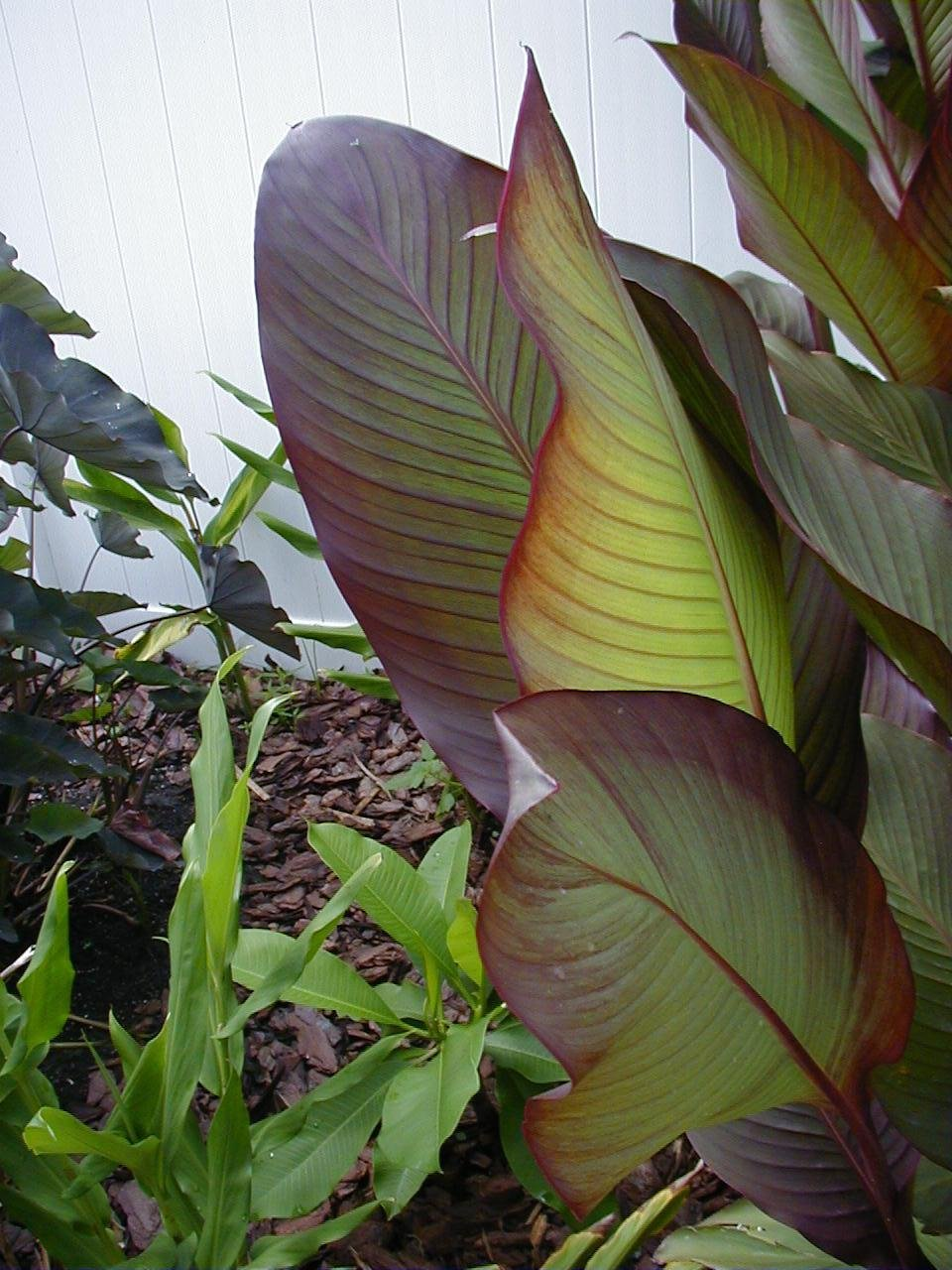 Plantfiles Pictures Canna Lily Russian Red Canna X