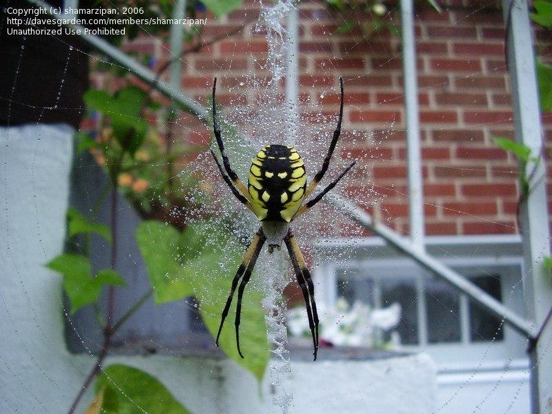 Back Spider Red Male Eyes