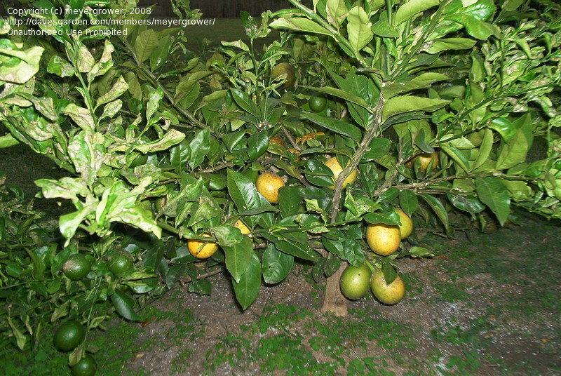 Lemon Tree Greenhouse