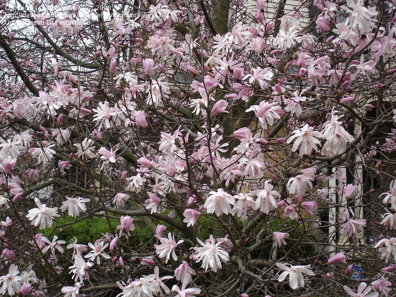 Plantfiles Pictures Star Magnolia Jane Platt Magnolia