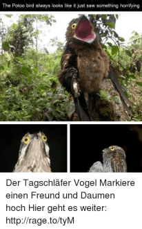 The Potoo Bird Always Looks Like It Just Saw Something Horrifying     Potoo Bird
