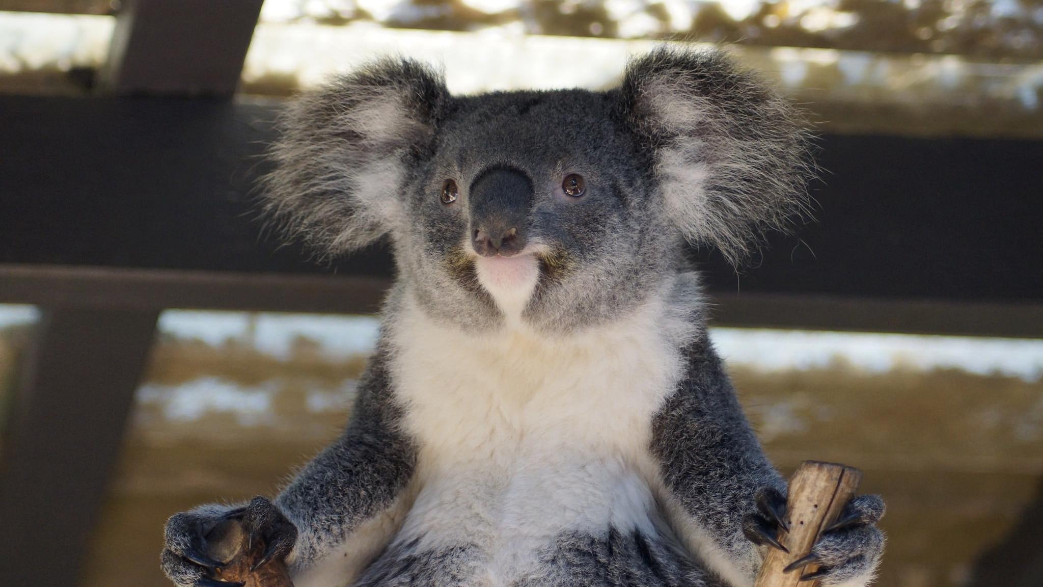 smiling koala picture - HD2048×1152