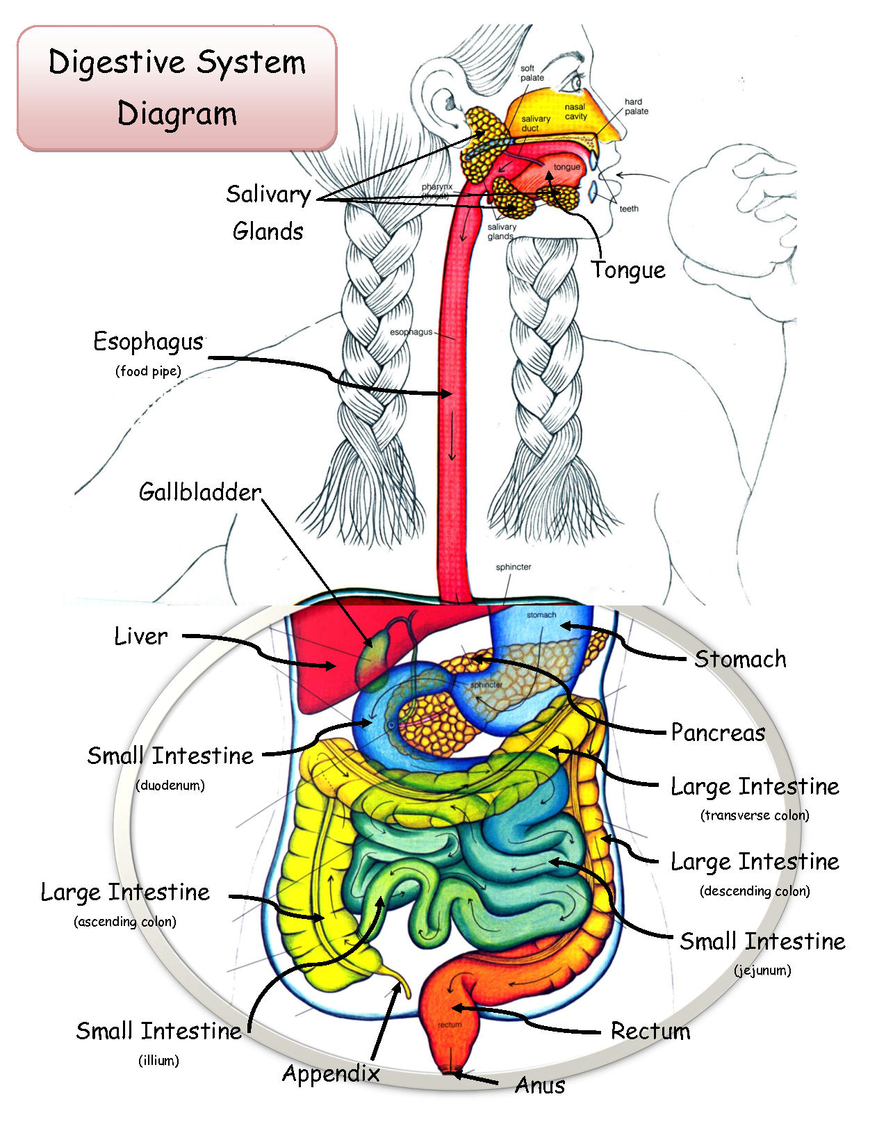 Digestive Labeled System