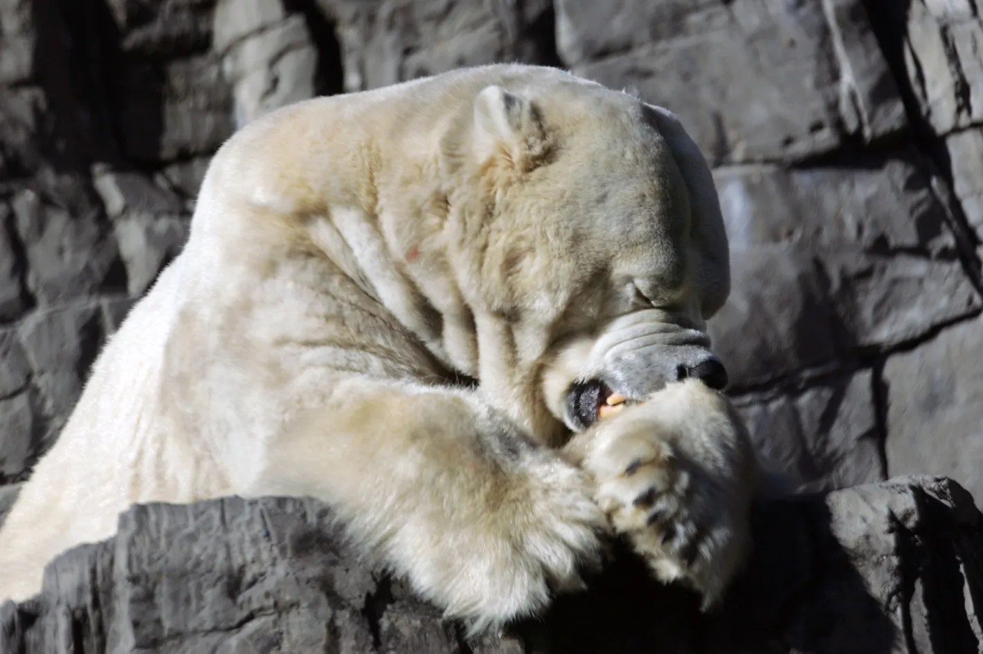 Image of: Youtube New York Magazine Everything Know Learned From Gus The Depressed Polar Bear