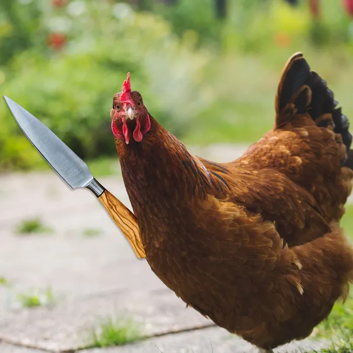 French Chickens Kill French Fox in Self-Defense