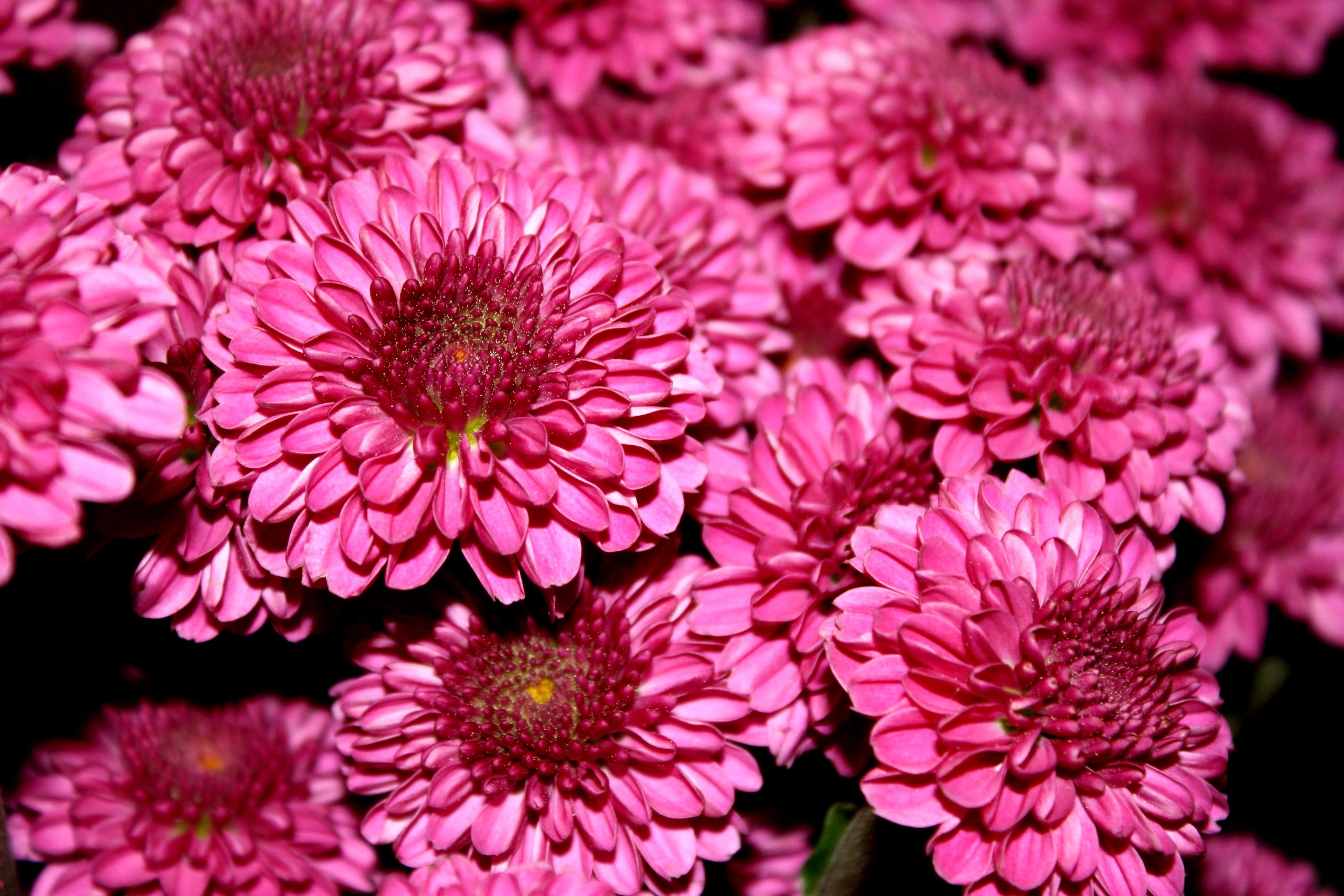 Free picture  chrysanthemums  flower  magenta color chrysanthemums  flower  magenta color