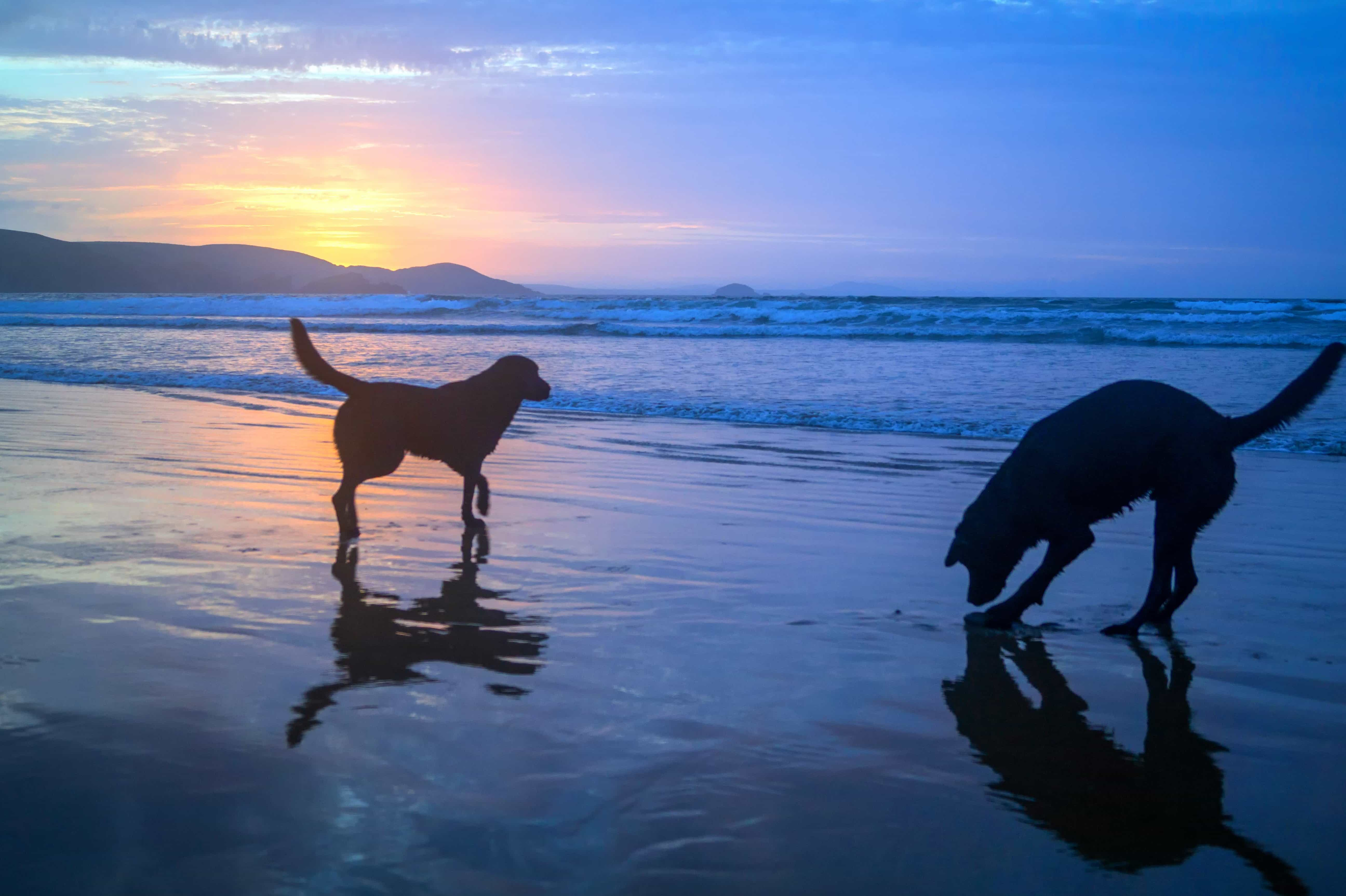 Free Picture Water Beach Silhouette Sunrise Pet Dog