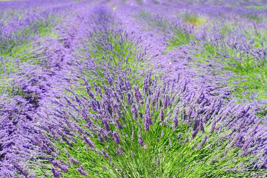 Free picture  nature  agriculture  lavender  flower  flora  summer     nature  agriculture  lavender  flower  flora  summer  field