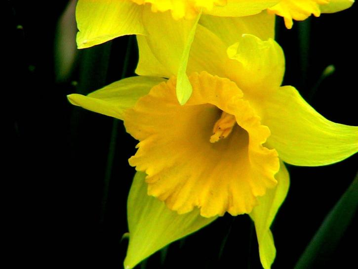 Free picture  daffodils  flower  narcissus daffodils  flower  narcissus