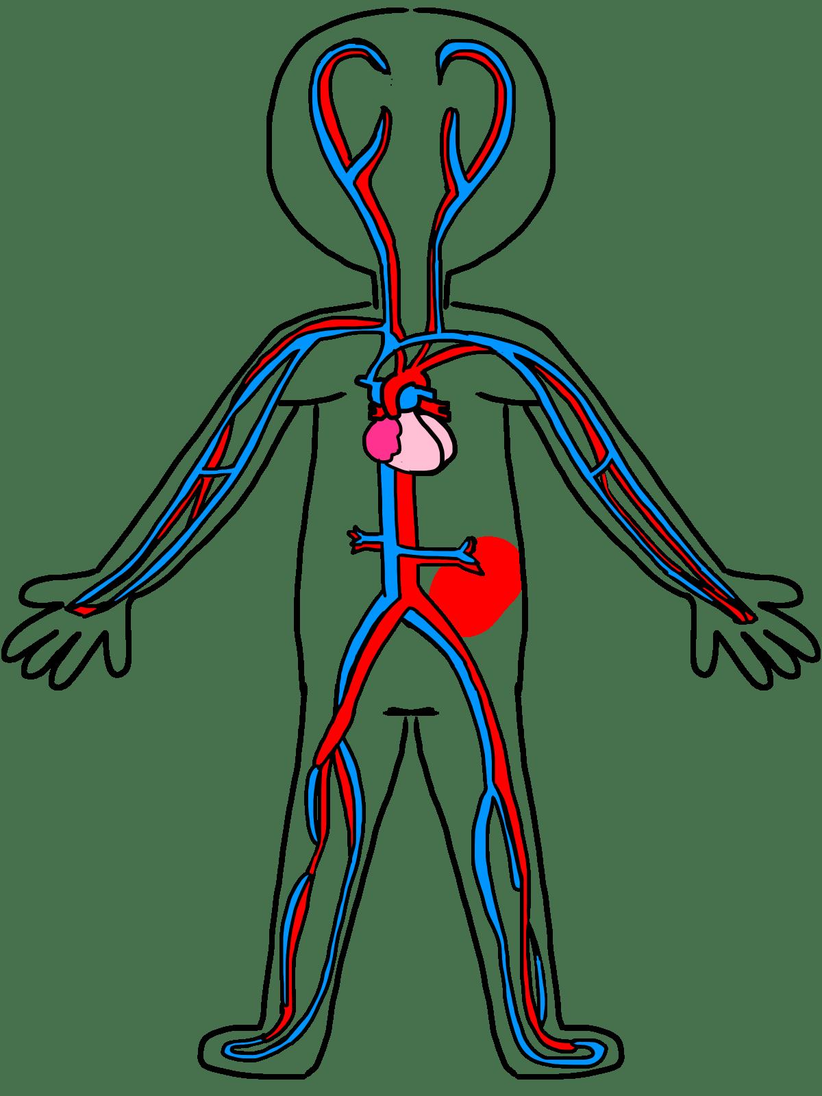 circulatory system images - HD1200×1600