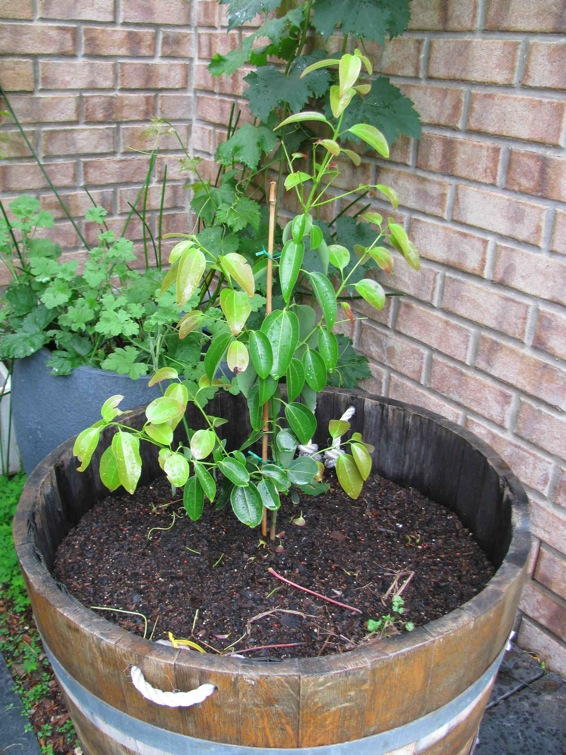 Buy Cinnamon Tree - Cinnamomum zeylanicum