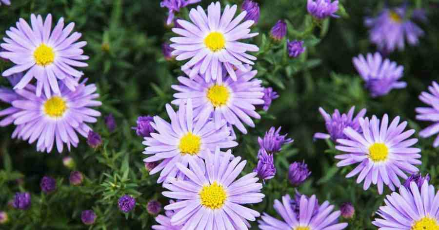 9 Best Summer Flowers   asters summer flowers 03312016