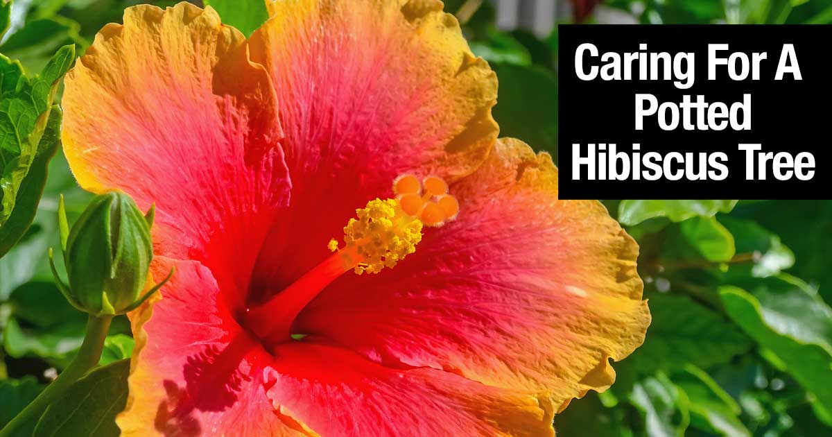 Hibiscus Tree  How To Grow And Care For A Hibiscus Plant hibiscus tree hibiscus care