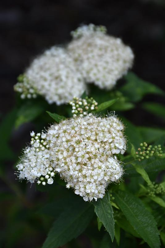 Japanese White Spirea Spiraea Albiflora In Inver Grove