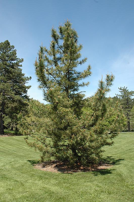 Japanese Black Pine Pinus Thunbergii In Long Island