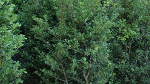 Jersey Pinnacle Japanese Holly (Ilex Crenata 'Jersey
