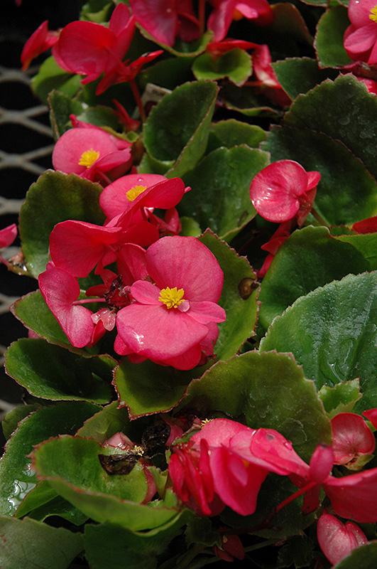 Super Olympia Rose Begonia Begonia Super Olympia Rose