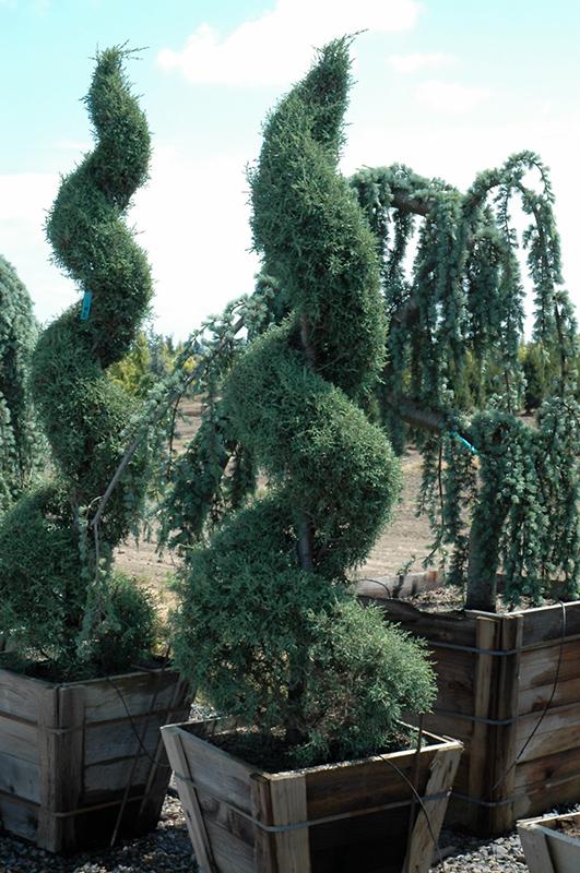 Carolina Sapphire Arizona Cypress Cupressus Arizonica