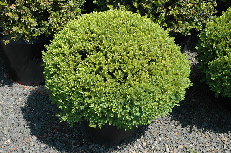 Green Velvet Boxwood Globe Form Buxus Green Velvet