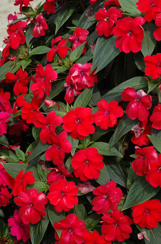 Big Bounce Red Impatiens Impatiens Balbiged In