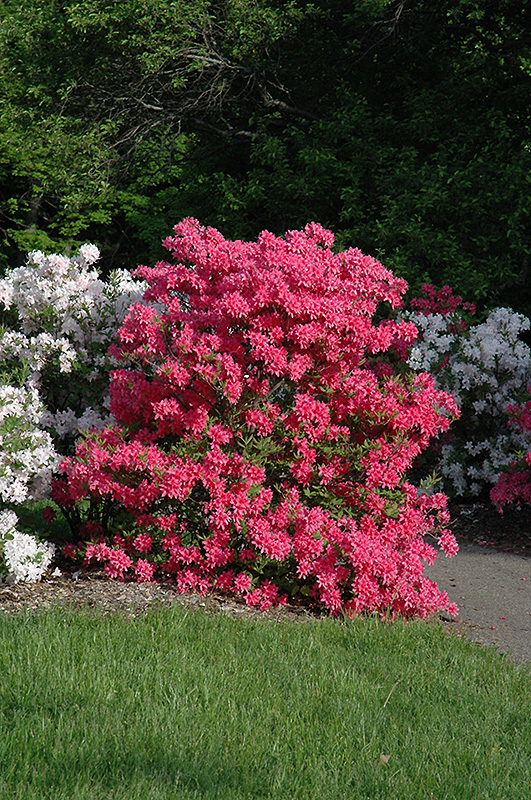 Rhododendron Northern Lights