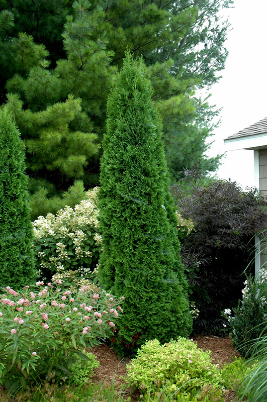5 Privacy Zone Trees