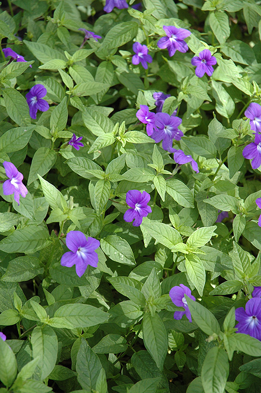 Blue Bells Amethyst Flower Browallia Speciosa Blue Bells