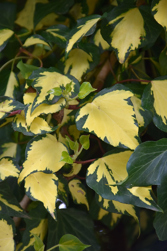 Yellow Foliage Plants