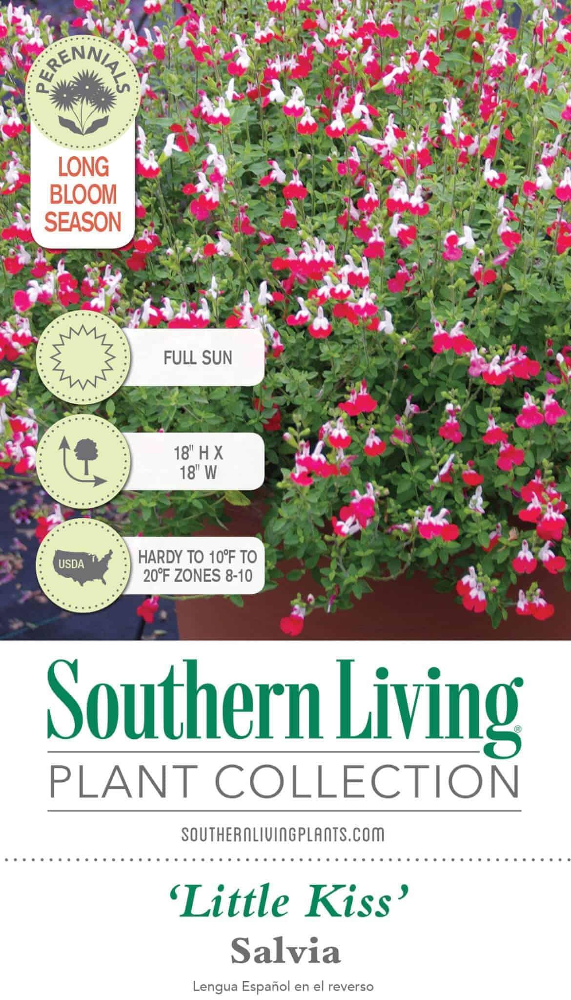 Little Kiss Salvia Shop Online With Plantsbymail Com