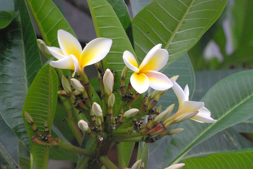 Plants   Flowers      Hawaiian lei flower Plumeria spp